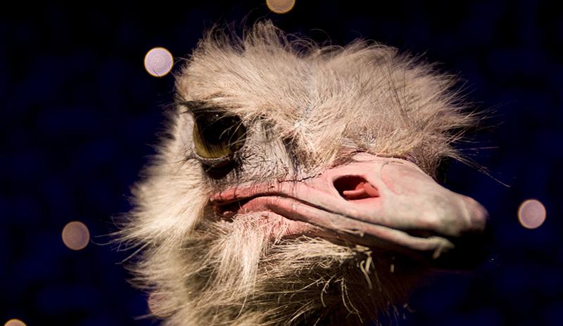 Odd bird ostrich